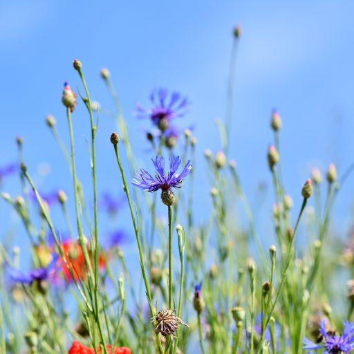 cropped-alpine-cornflower-3440640_1920.jpg
